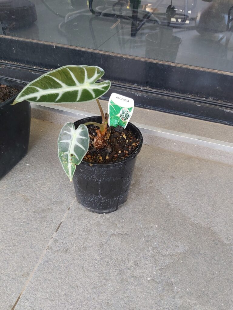 alocasia with two leaves